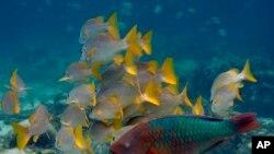 Los arrecifes de coral han sufrido mayor estrés en todo el mundo debido al aumento de las temperaturas oceánicas agravadas por la pesca excesiva, la contaminación y el turismo. (AP Foto/Pat Wellenbach).