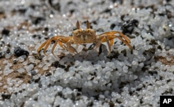A crab roams on a beach polluted with polythene pellets that washed ashore from burning ship MV X-Press Pearl anchored off Colombo port at Kapungoda, out skirts of Colombo, Sri Lanka, Monday, May 31, 2021.