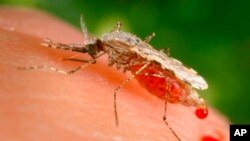 FILE - This file photo provided by the Centers for Disease Control and Prevention shows a feeding female Anopheles Stephensi mosquito, in the process of obtaining its blood meal from a human host. In a study published Sept. 22, 2021, scientists say there