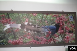 吴先生拍的蓝鹊照片