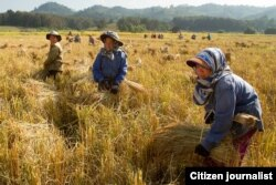 "FILE – Rice is harvested in Laos. The government has prohibited ""slash and burn"" techniques associated with rice farming that they say are harmful to forested areas."