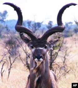 Vuvuzelas originated from the horns of South Africa's Kudu antelope that indigenous groups used to blow to call meetings