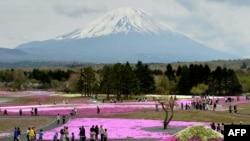 富士山下芝櫻祭,80萬株鮮花怒放,吸引遊人。
