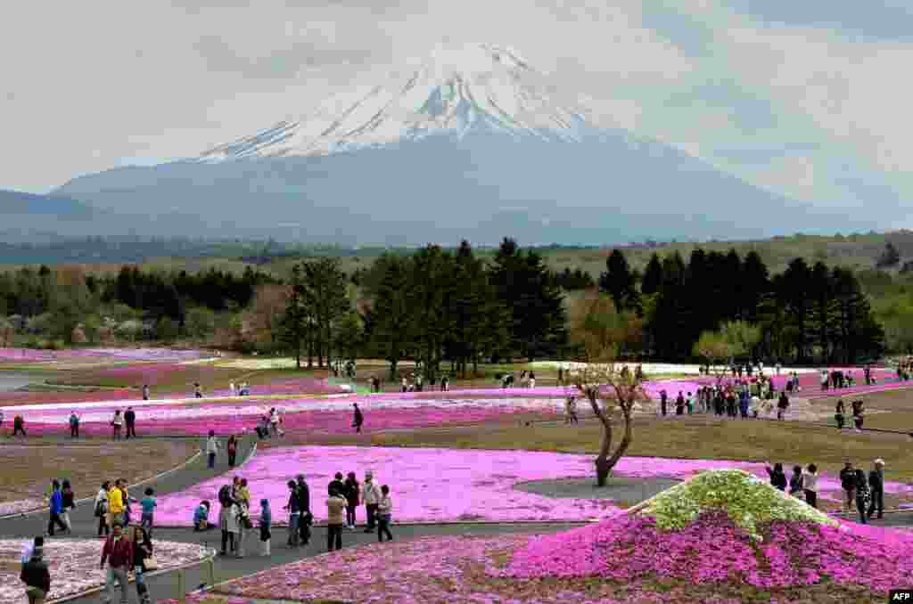 Visitors stroll in the flower garden covered by over 800,000 Shibazakura or Moss Phlox in full bloom during the Fuji Shibazakura Festival at the foot of Mount Fuji in Fujikawaguchiko, Yamanashi prefecture, Japan.