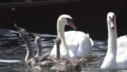 Queen's Swan Marker Conducts Annual Census