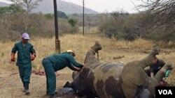 Para pekerja memeriksa seekor badak yang sudah mati karena diburu di Taman Nasional Kruger, provinsi Mpumalanga, Afrika Selatan (foto: dok).