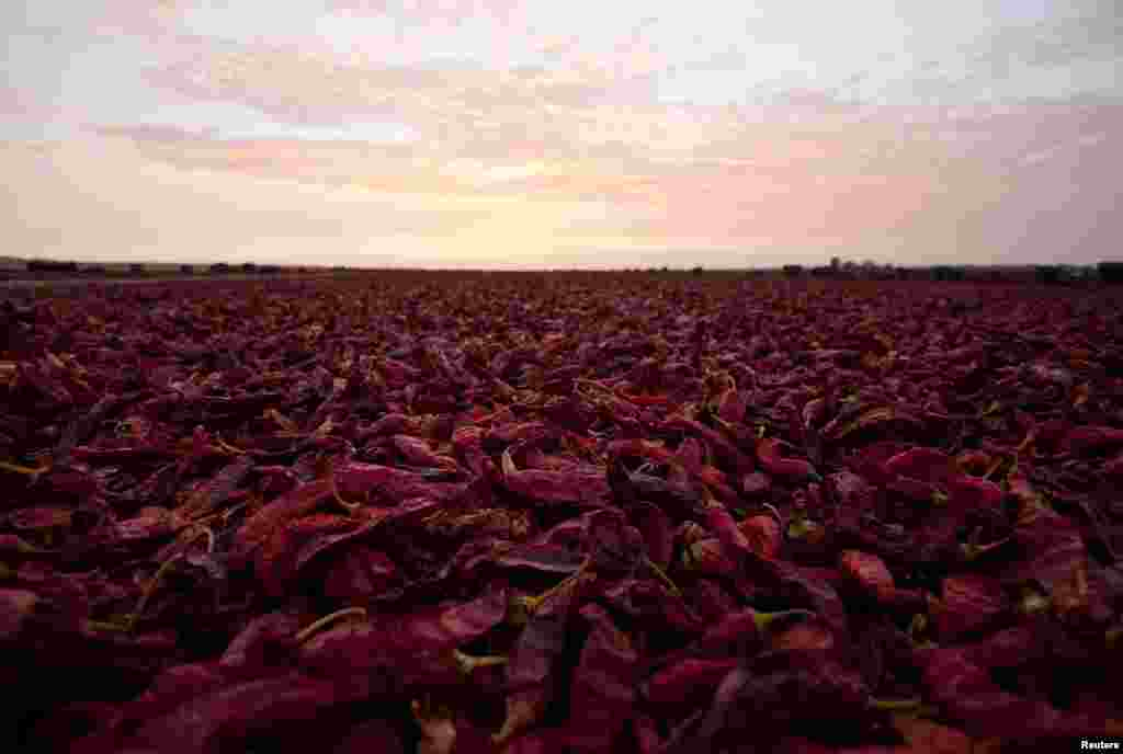 Paprika peppers are air dried after a harvest next to a plantation in the outskirts of Ica, Peru.