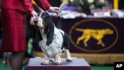 A Basset Hound is presented in the competition ring during the Westminster Kennel Club dog show, Feb. 10, 2014, in New York.