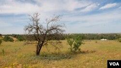 An olive tree in Zintan, Libya, April 9, 2012. (Stephanie Figgins)