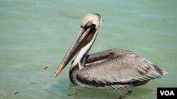 Esta ave ya había sido borrada de una lista en 1985, a lo largo de la costa Atlántica. Hoy ya nos está en ninguna lista.