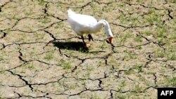 Một con ngỗng đi tìm nước uống trên một lạch nước đã khô cằn gần Hồ Arlington ở bang Texas, Hoa Kỳ