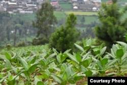 Hamparan tanaman tembakau di lereng gunung di Temanggung, Jawa Tengah. (foto: APTI)