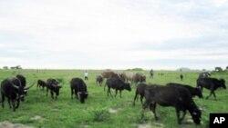 Huíla: Libertados criadores de gado