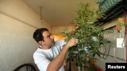 Marijuana home grower and activist Juan Vaz works on a marijuana plant in Montevideo, Uruguay, Mar. 7, 2014.