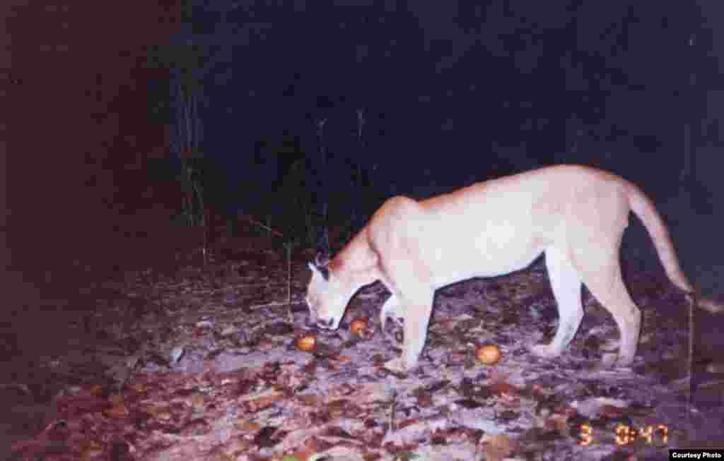 Puma yang tertangkap kamera di Una Biological Reserve, satu dari lima kawasan yang dilindungi dan memiliki spesies-spesies yang kharismatik. (Foto: Arsip IESB)