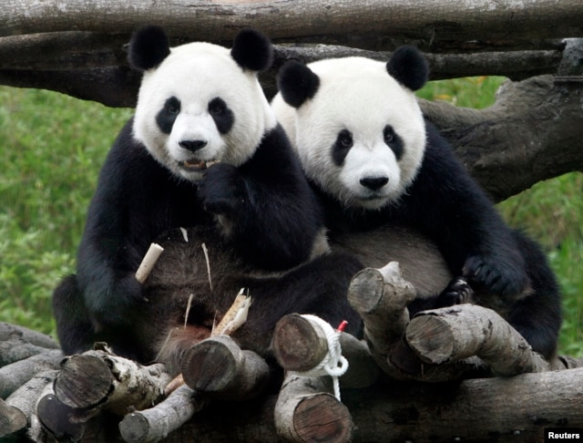 "Pandas Tuan Tuan and Yuan Yuan, whose names together mean ""reunion"" in Chinese, sit together inside their enclosure at the Taipei City Zoo, May 19, 2009."