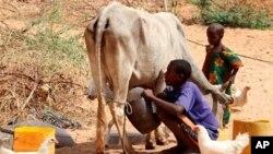 图为一名索马里男子今年1月在摩加迪沙的帐篷外挤牛奶