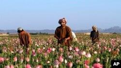 Les cultivateurs récoltent l'opium brut dans un champ dans le district de Zhari, dans la province de Kandahar, Afghanistan, 11 avril 2016