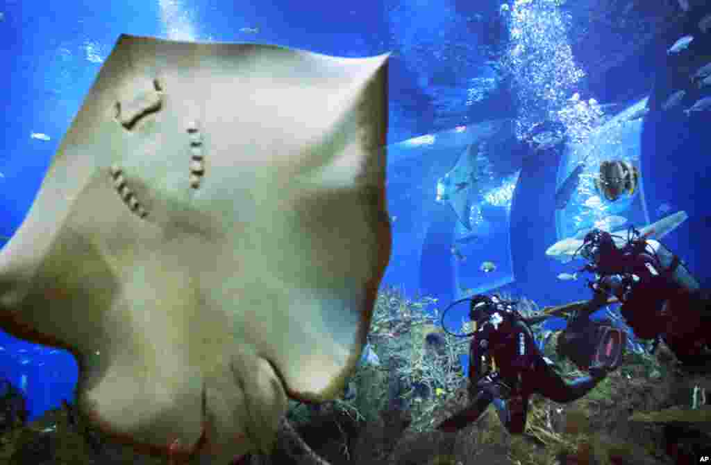 Divers approach a Leopard Ray perched against the glass of an exhibit at the Marine Life Park at Resorts World, one of the city-state's newest tourist attractions, in Singapore.