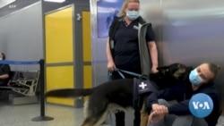 Sniffer Dogs Beat Swabs in Detecting Coronavirus