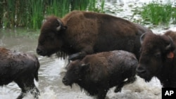 There are about 500,000 bison in the United States today, not enough to keep up with demand for their meat.