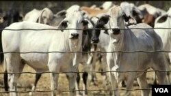 Sapi-sapi berada dalam kandang di Noonamah, Darwin, Australia sebelum diekspor ke luar negeri. (Foto: Dok)