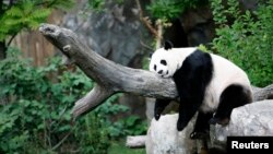 Panda raksasa Mei Xiang menikmati tidur siang di Kebun Binatang Nasional, Washington, AS. (Foto: Dok)