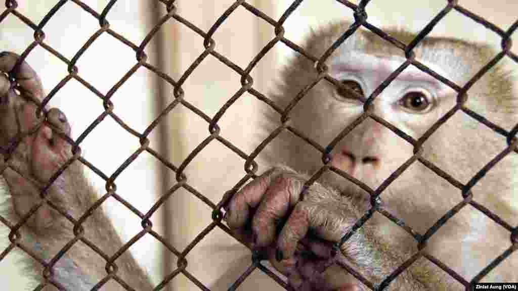 از این میمون مصادره شده از قاچاقچیان، موقتاً در قفسی در وزارت پارکهای ملی تایلند نگهداری میشود – بانکوک