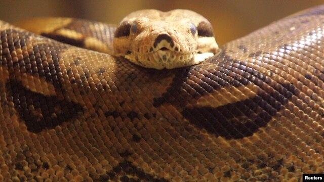 Una pitón en un zoológico en Bucarest. Las autoridades canadienses incautaron 40 serpientes de este tipo cerca de Toronto.