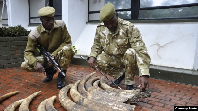 Kenyan Wildlife Service rangers display elephant tusks seized in Nairobi from a suspected smuggler who says the 19 ivory pieces came from Tanzania,  March 31, 2013. (KWS)