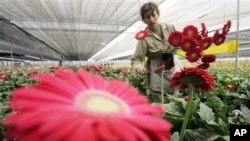 Colombian flowers being prepared for export to U.S.