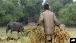 A Cambodian man carries rice at a paddy rice farm in Bekpeang village, Kampong Cham province (File photo).