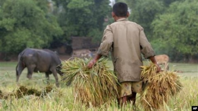 A Cambodian man carries rice at a paddy rice farm in Bekpeang village, Kampong Cham province, file photo.