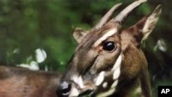 Là loài động vật đặc hữu sinh sống ở dãy Trường Sơn, sao la trông giống như linh dương với cặp sừng rất dài nhưng lại có liên hệ với bò về mặt sinh học.
