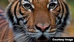 Тигрица Надя из зоопарка Бронкса. Фото из пресс-заявления зоопарка (Credit: © WCS)