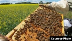 A honey bee colony, filled with busy bees tending their brood and food storage. (Maj Rundlöf)