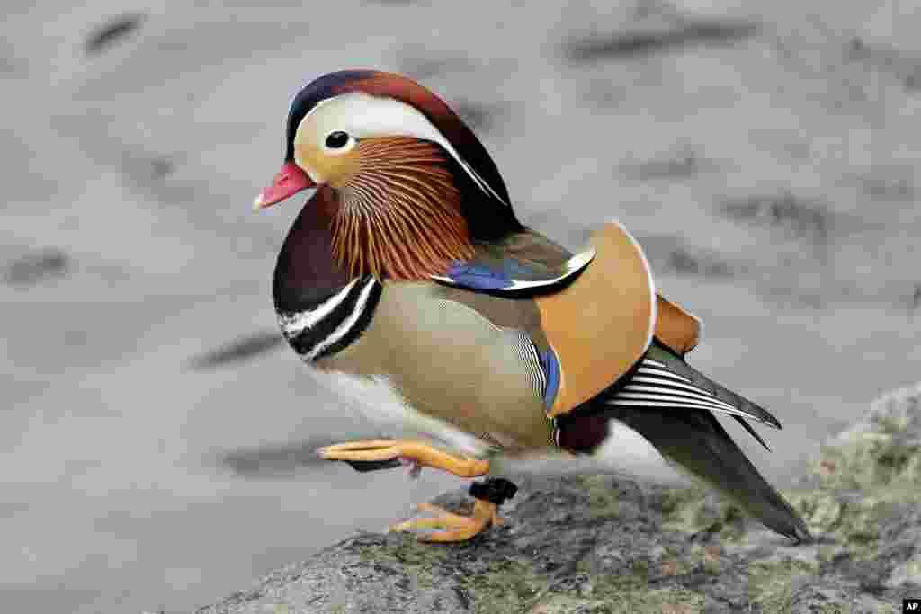 2018年12月5日,一只雄性鸳鸯(Mandarin duck)在纽约曼哈顿中央公园散步。它自从几周前出现在中央公园,已成为明星和网红。其异国情调的外形吸引大量民众前往观赏。一般认为鸳鸯主要分布在东亚,纽约市公园局表示,不清楚它从何地迁徙到纽约。它出现后又一度消失,粉丝们在网上发出寻鸟启示。华盛顿邮报报道,人们担心它可能被盗或被人吃掉。纽约公园局称其可能己飞离纽约寒冷水域。但后来鸳鸯回来了。