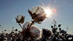 Teksas eyaletinde bir pamuk tarlası