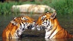 """""""Leanne"""", la madre de la cría, y """"George"""", el padre, fueron prestados por los zoológicos de San Antonio y Denver para el apareamiento."""