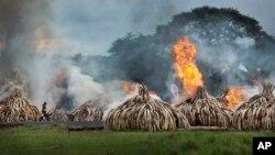 Những chiếc ngà voi bị tiêu hủy ở Kenya.