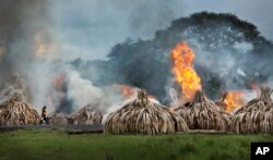 FILE - A worker carries spray bottles of gel fuel to help the burning, as he walks past pyres of ivory that were set on fire in Nairobi National Park, Kenya, April 30, 2016.