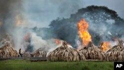 Un travailleur transportant des bouteilles de gel combustible passe devant des piles d'ivoires incendiés dans le parc national de Nairobi au Kenya samedi 30 avril 2016.