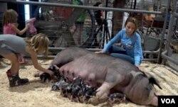 미국 메릴랜드 티모니움에서 열린 '스테이트 페어(State fair)'에서 어린 소녀가 어미 젖을 물고 있던 새끼 돼지를 만지고 있다.