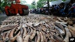 밀렵을 통해 얻은 상아를 압수해 파쇄하고 있는 필리핀 당국 단속반. 상아는 아시아 지역에서 장식용이나 약품으로 인기가 높다. (자료사진)