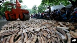 A steamroller is used to crush seized elephant tusks during a ceremony at the Protected Areas and Wildlife Bureau of the Department of Environment and Natural Resources in Quezon city, northeast of Manila, Philippines, June 21, 2013.
