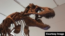 FILE - Tyrannosaurus rex went extinct in a relatively short compared to the dinosaur line that led to birds. (Credit: Royal Ontario Museum)