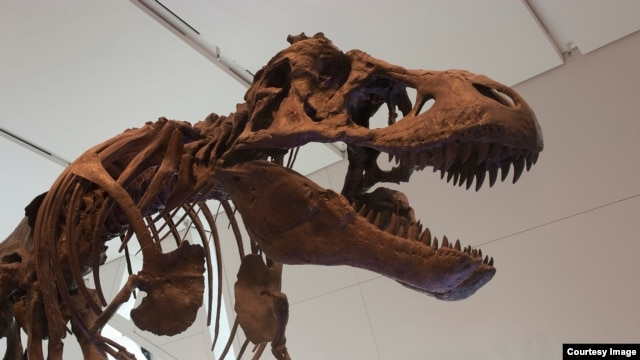 Tyrannosaurus rex went extinct in a relatively short compared to the dinosaur line that led to birds. (Credit: Royal Ontario Museum)