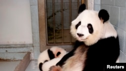 FILE - Giant panda Lun Lun relaxes as her twin cubs, Mei Lun and Mei Huan, sleep nearby at Zoo Atlanta in Atlanta, Nov. 14, 2013. Lun Lun gave birth to another set of twins Saturday, the zoo said.