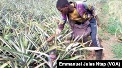 A 17 ans, ce jeune Camerounais sans formation manipule les pesticides dans son champs d'ananas, près de Yaoundé, le 11 mai 2017. (VOA/Emmanuel Jules Ntap)