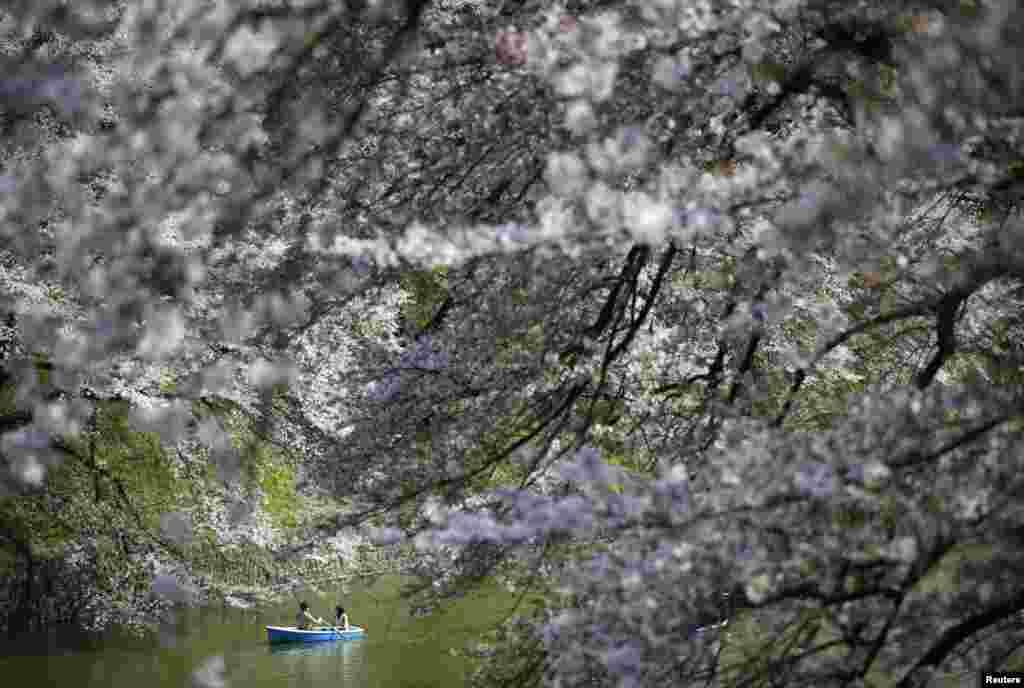 Sepasang wisatawan menaiki perahu sambil menikmati bunga sakura yang tengah bermekaran di sebuah taman di Tokyo, Jepang.